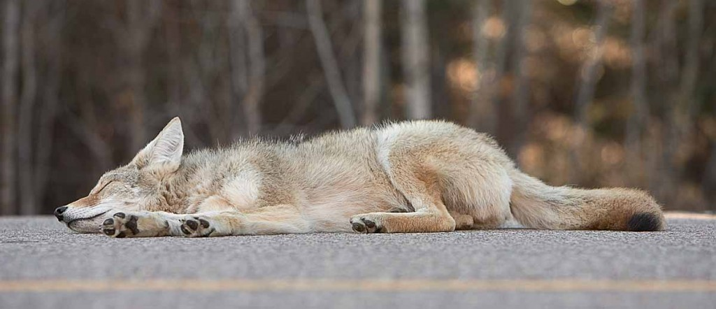 coyote play dead