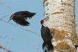 Two woodpeckers photo