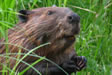 Beaver in tall grass photo
