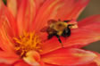 Bee on red Dalia flower photo