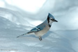 Bluejay standing in snow photo