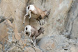 Leaping goats on side of mountain ridge photo