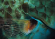 Sleeping Parrotfish fin and scales photo