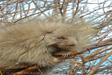 Porcupine on branches photo
